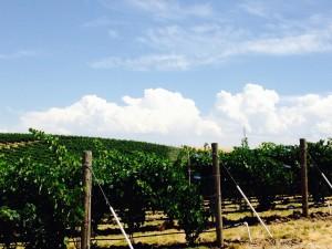 Vineyard 7-29-14a